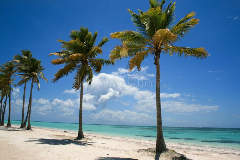 Belle palme sulla spiaggia nella Repubblica dominicana immagine stock