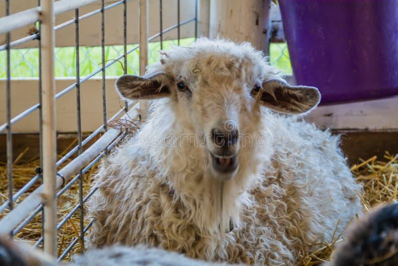 Belle pecore bianche della pelliccia, ovis aries, in una penna alla fiera della contea fotografie stock libere da diritti