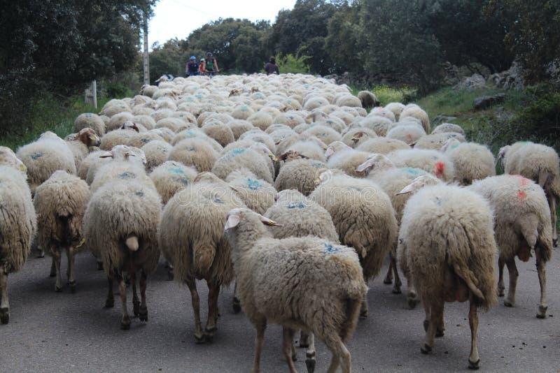Belle pecore con i loro agnelli nel cibo del campo fotografia stock