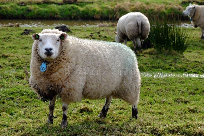 Belle pecore in pieno di lana immagine stock