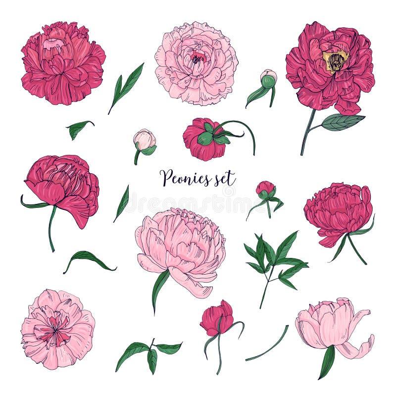 Belle peonie messe Il fiore disegnato a mano fiorisce, germogli e foglie Raccolta variopinta dell'illustrazione di vettore illustrazione vettoriale