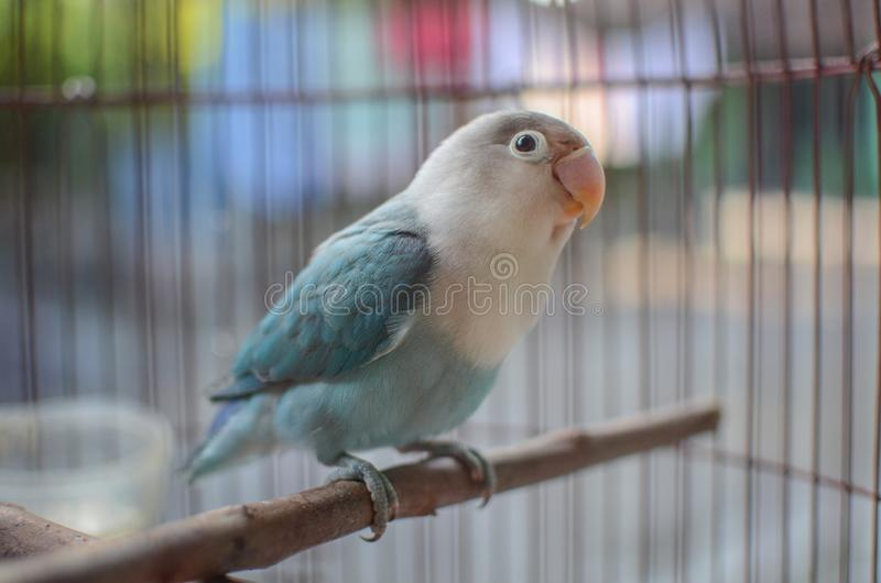 Belle perruche dans la cage photo stock