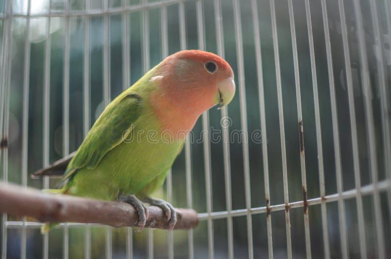 Belle perruche dans la cage photographie stock libre de droits