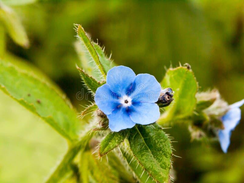 Belle petite fleur bleue simple dehors en pleine floraison images libres de droits