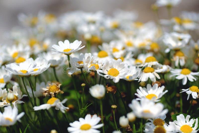 Belle petite marguerite, blanc et jaune photo libre de droits