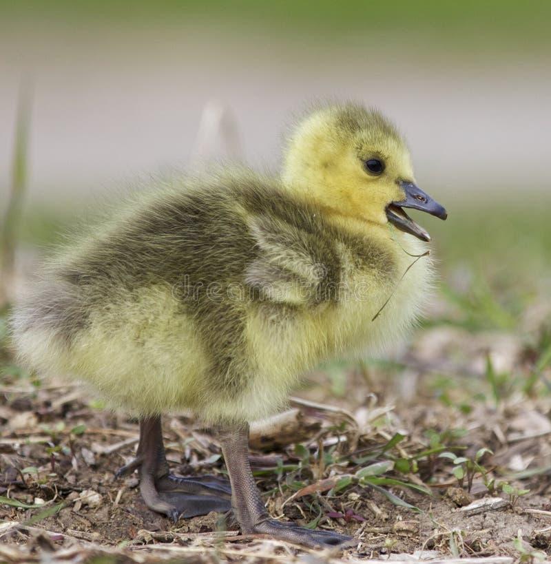 Belle photo avec un poussin drôle sur l'herbe images libres de droits