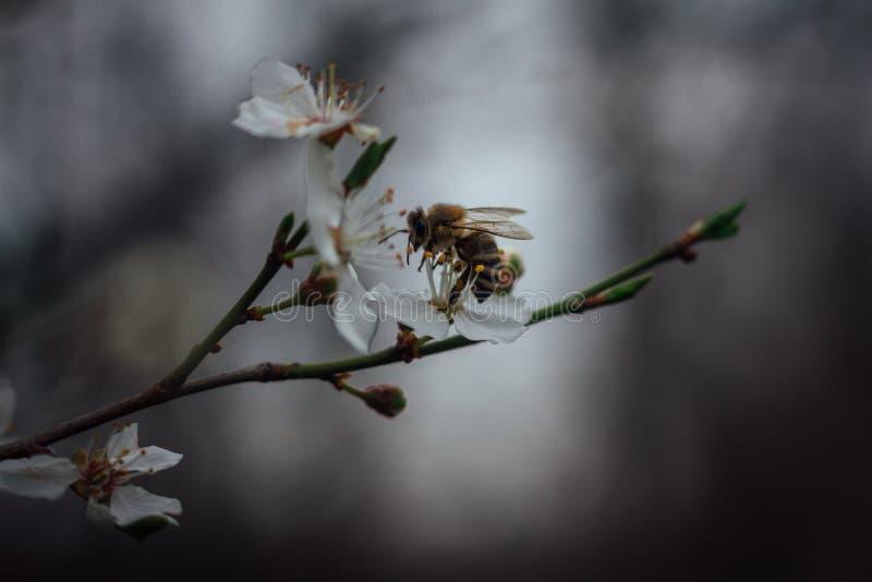 Belle photo d'abeille sur la fin de fleur blanche vers le haut du macro tandis que Co photo libre de droits