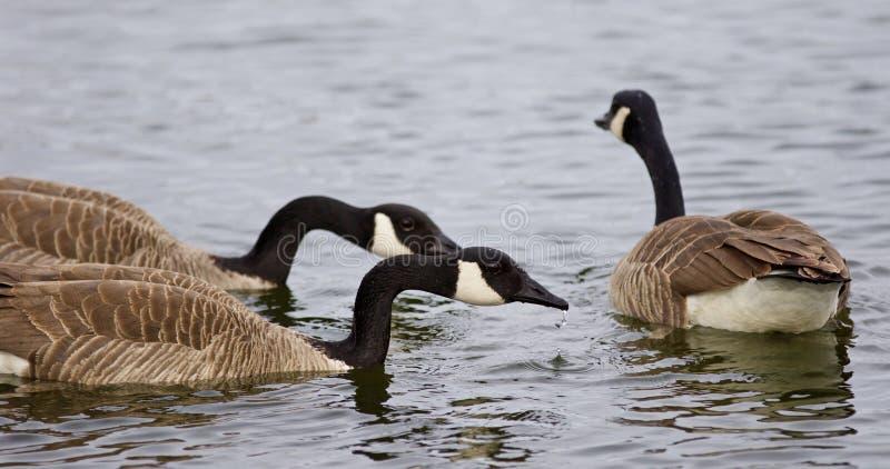 Belle photo de trois oies de Canada nageant photos stock
