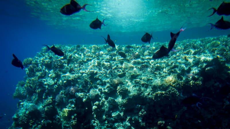 Belle photo sous-marine d'un bon nombre de poissons tropicaux color?s nageant autour du grand r?cif coralien en mer photos stock