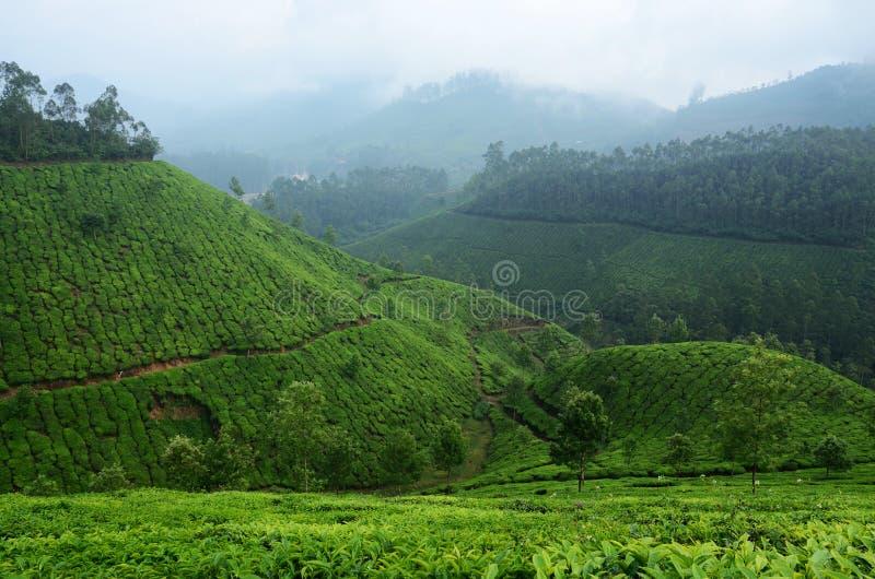 Belle piantagioni di tè verde fresche in altopiano di Munnar, Kerala, immagini stock libere da diritti
