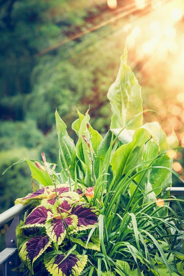 Belle piante delle foglie: Il coleus, canna, emerocallide, molti fiori con spruzza di colore sul balcone o sul terrazzo immagine stock libera da diritti