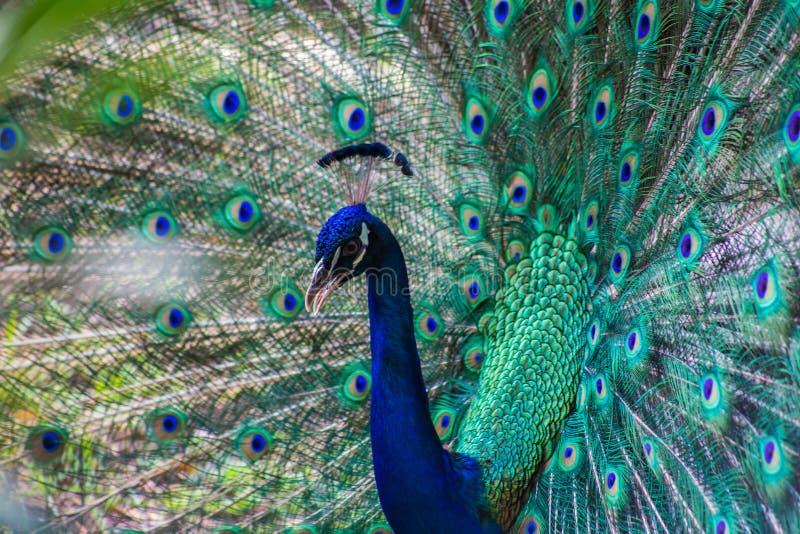 Belle piume variopinte selvagge di un primo piano del pavone immagine stock libera da diritti