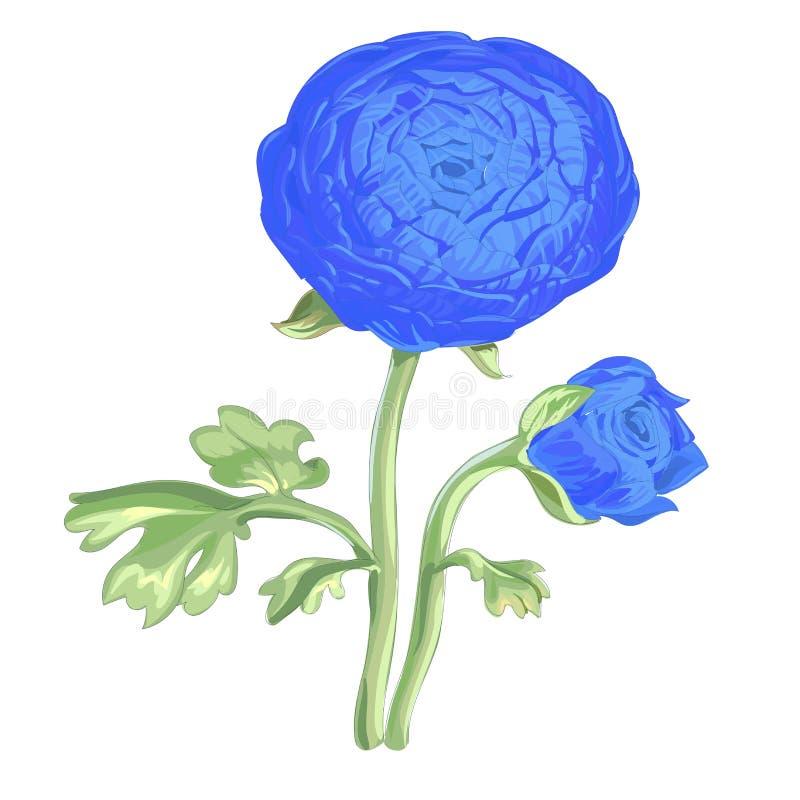 Belle pivoine bleue de fleur d'isolement sur le fond blanc Un grands bourgeon et inflorescence sur une tige avec les feuilles ver illustration de vecteur