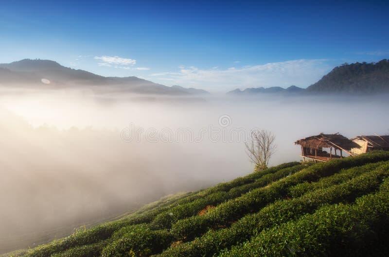 Belle plantation de thé et lever de soleil sur Doi Ang Khang, Chiang Mai images stock