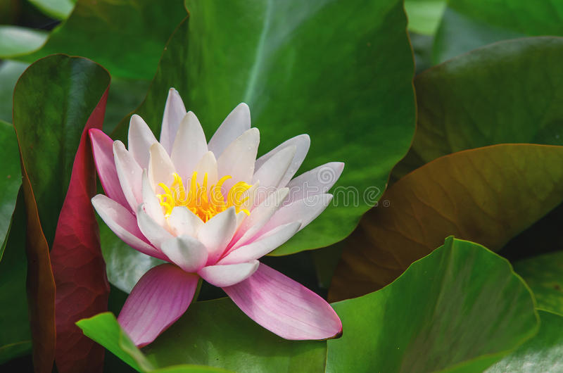 Belle plante aquatique photos stock