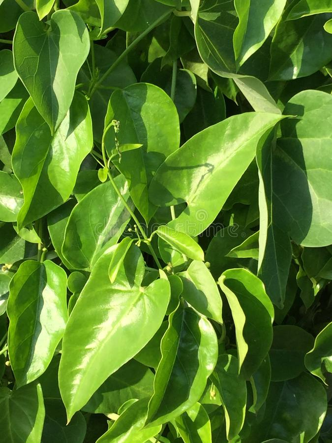 Belle plante grimpante de fines herbes verte naturelle photo stock