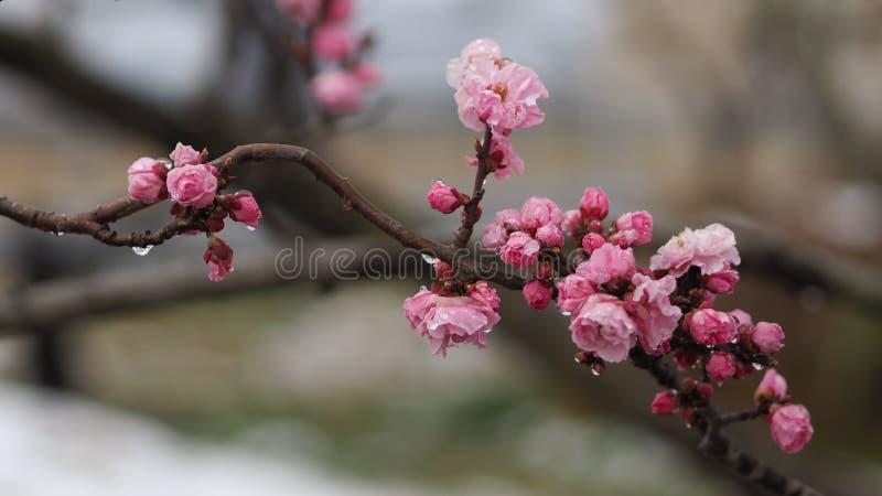 Belle Plum Tree Blossom dans le jour pluvieux image libre de droits