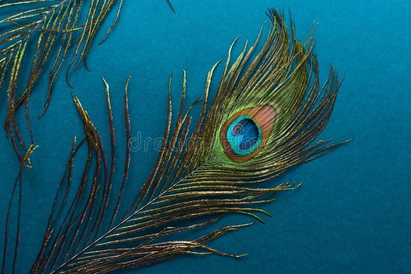 belle plume de paon sur le fond bleu photo libre de droits