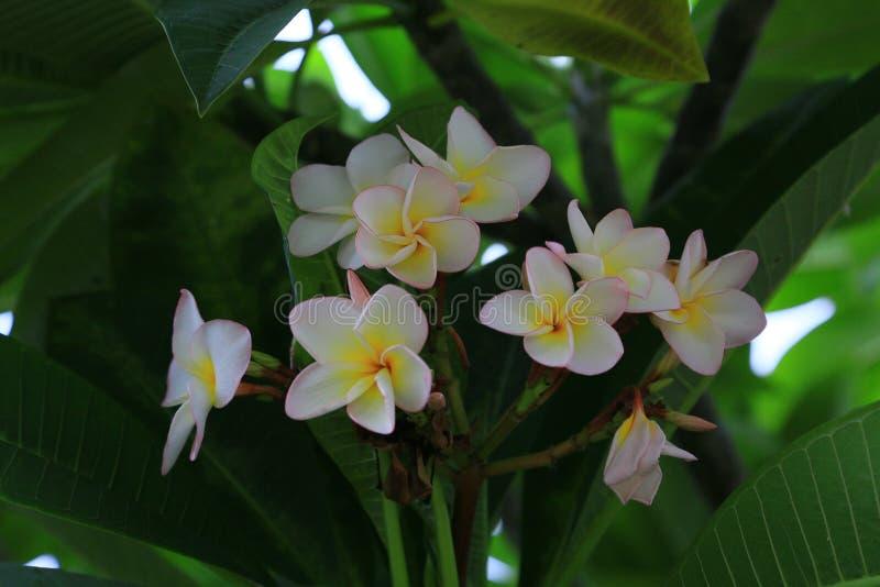 Belle plumeria jaune blanc Frangipani Fleurs images libres de droits