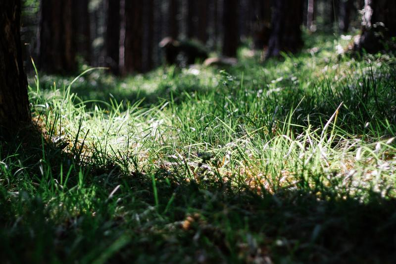 Belle radici dell'albero sul ceppo L'erba si sviluppa al piede degli alberi nella foresta fotografia stock libera da diritti