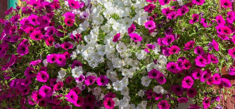 Belle rangée de pétunias de rose et blancs décorant la boîte de fenêtre photo libre de droits