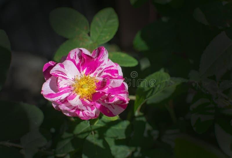 Belle Rosa Rugosa rose et blanche intelligente s'est levée photos libres de droits