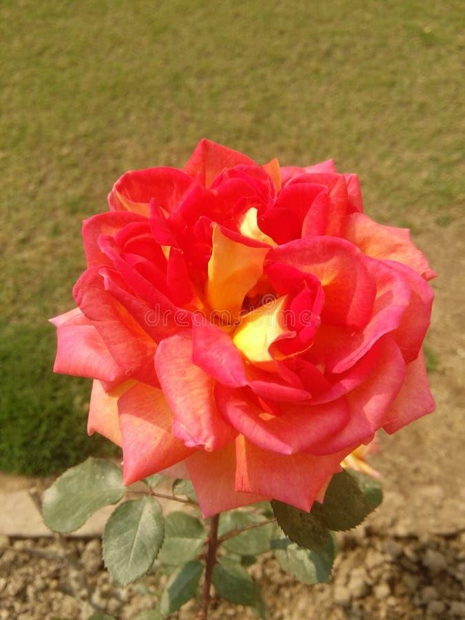 Belle Rose photographie stock libre de droits