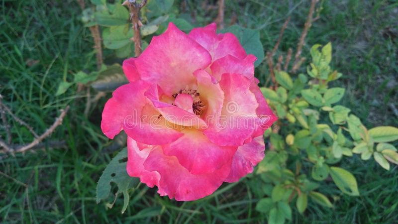 Belle Rose images stock