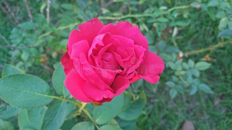 Belle Rose photos stock