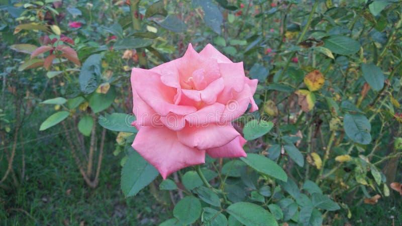 Belle Rose images libres de droits