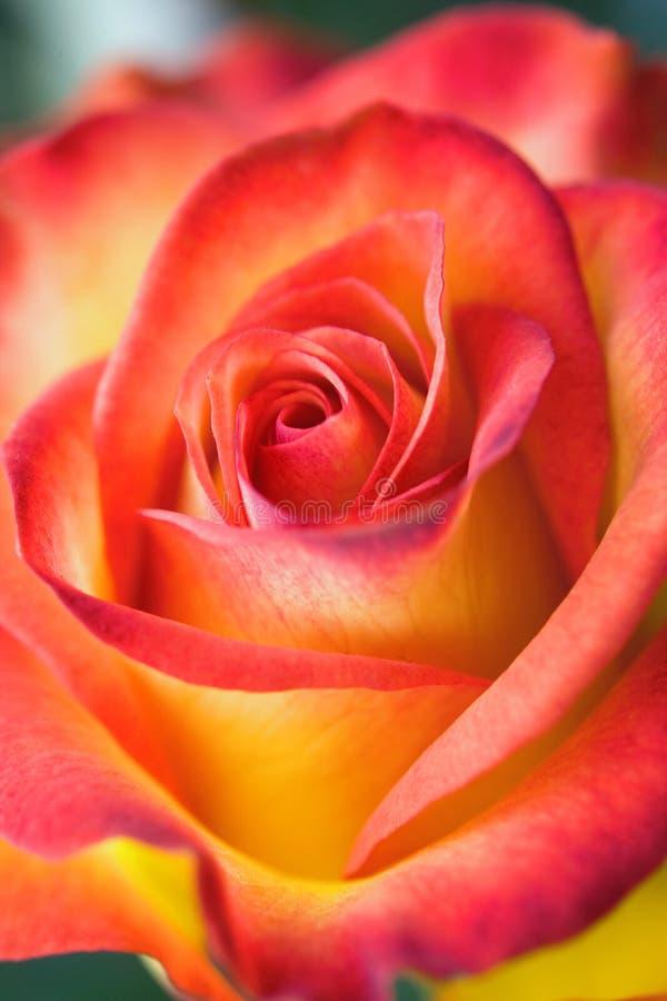 Belle rose immagini stock