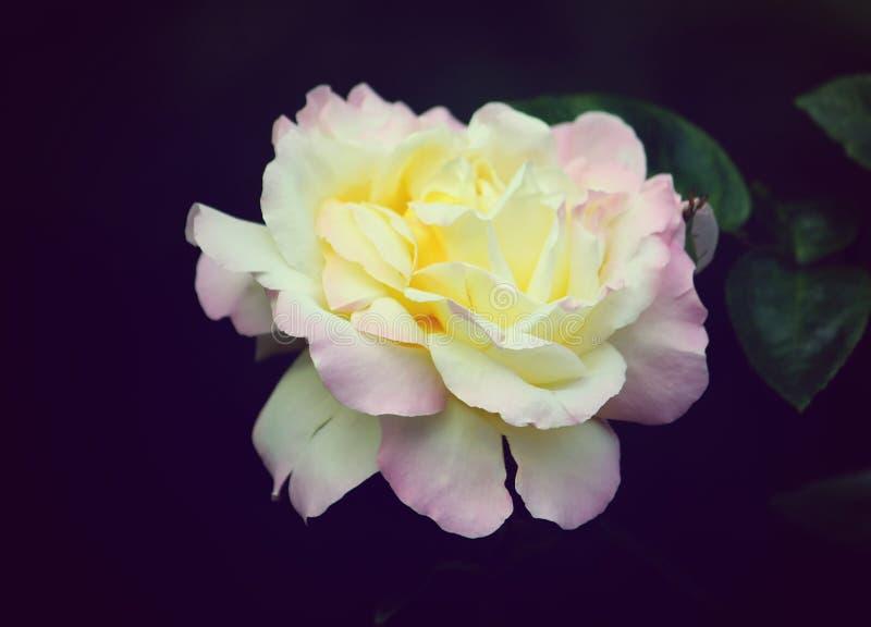 Download Belle Rose photo stock. Image du célébration, jardin - 56483164