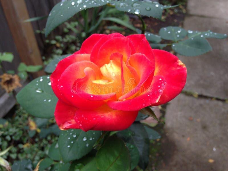 Belle Rose image stock