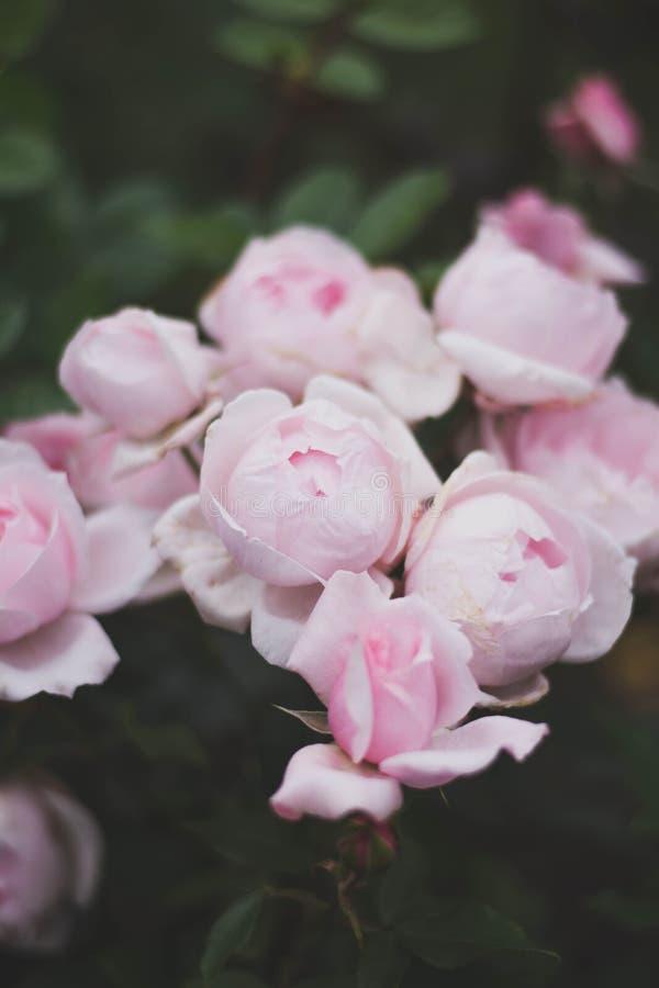 Belle rose adorabili rosa meravigliose stupefacenti dei fiori fotografia stock