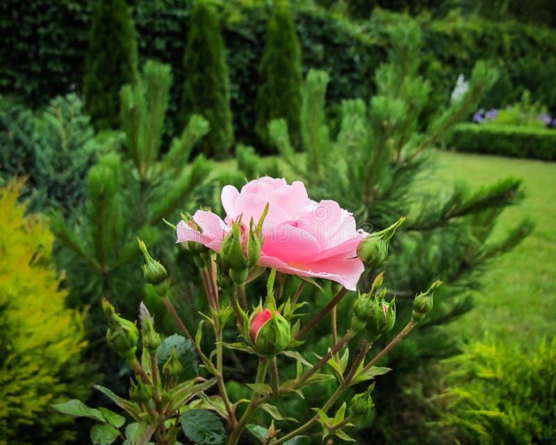 Belle rose rose avec des baisses de rosée dans le jardin Idéal pour des cartes de voeux de fond photo libre de droits