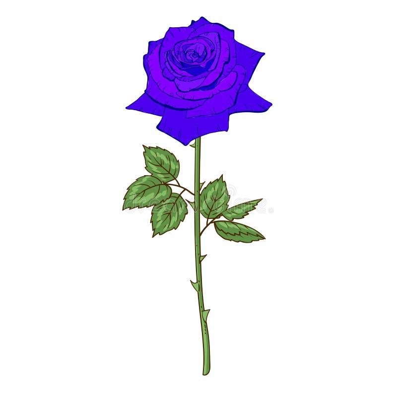 Belle rose bleue de fleur d'isolement sur le fond blanc Un grands bourgeon et inflorescence sur une tige avec les feuilles vertes illustration libre de droits