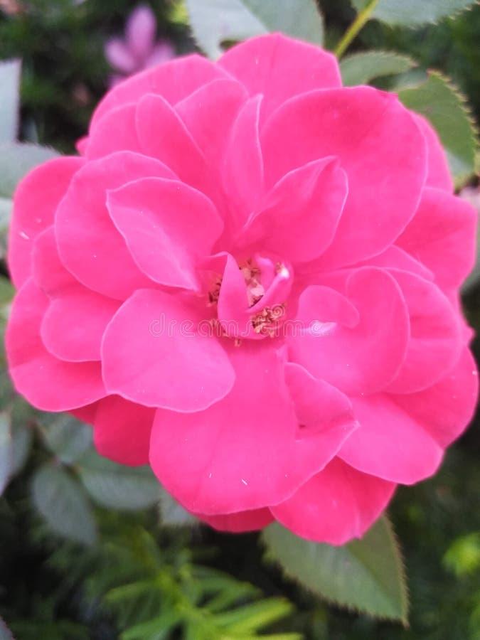 Belle rose rose dans la haie photo stock