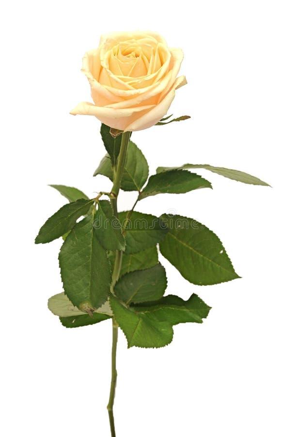 Belle rose de jaune photos stock