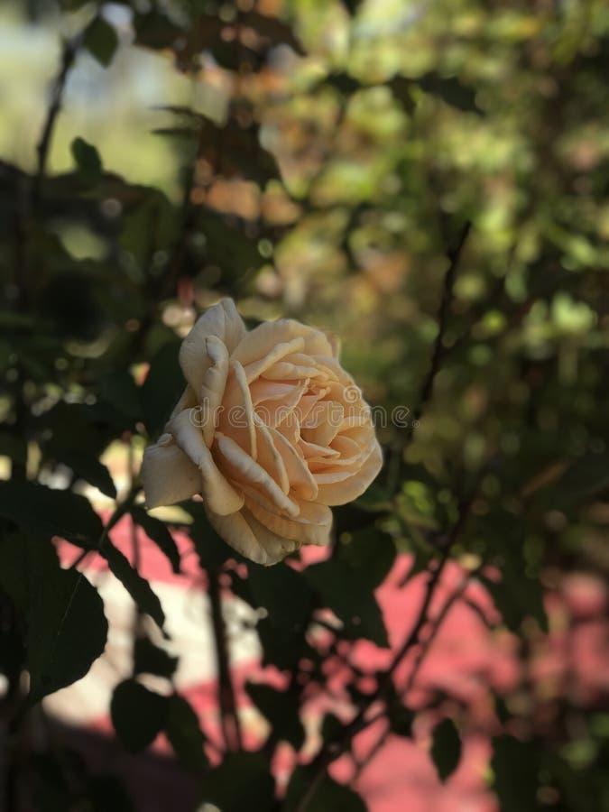 Belle rose de jaune photos libres de droits
