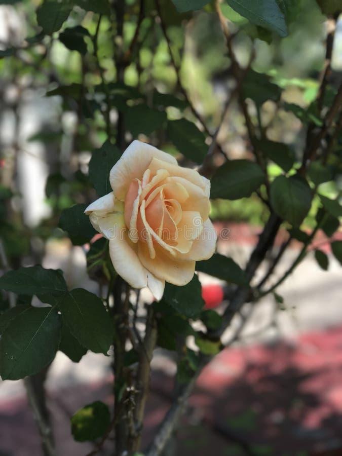 Belle rose de jaune photo libre de droits