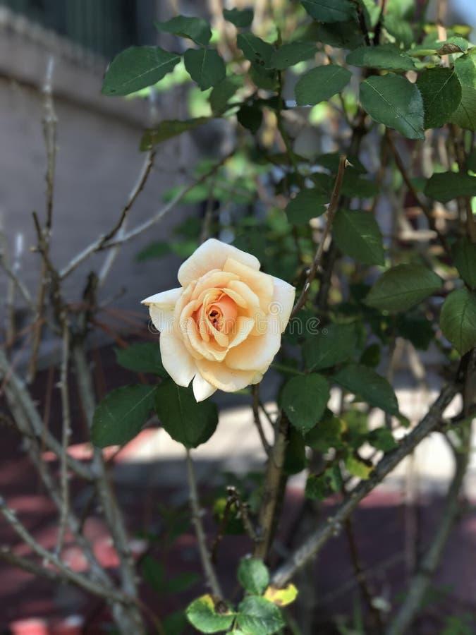 Belle rose de jaune photographie stock
