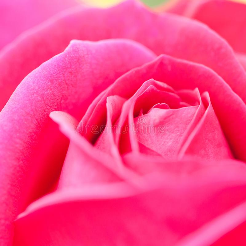 Belle rose de rose, macro images stock