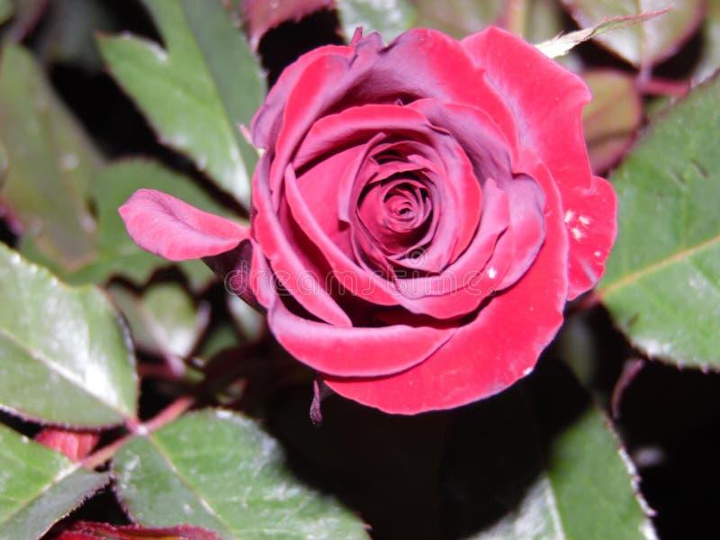 Belle rose de rouge dans ma cour image stock