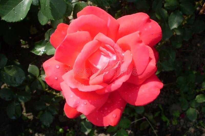 belle rose de rouge en rosée image libre de droits