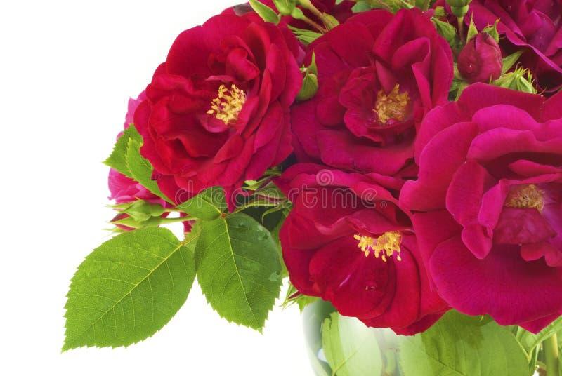 Belle rose del giardino in vaso fotografie stock