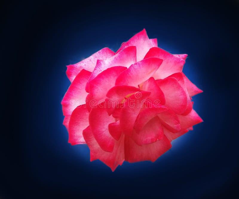 Belle Rose Flower à l'arrière-plan bleu et noir images stock