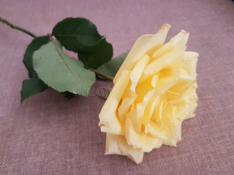 Belle rose jaune ? mettre dans le bouquet photographie stock libre de droits