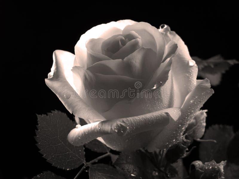 Belle Rose, photo noire et blanche images stock