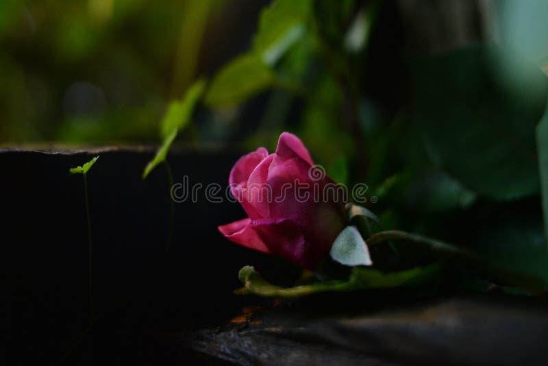 belle rose rosa con un fondo confuso fotografia stock