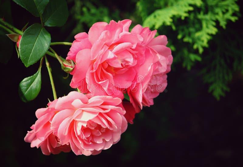 Download Belle Rose rose photo stock. Image du élégant, objet - 56482160